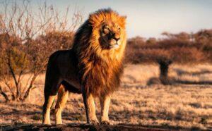 Ngủ chiêm bao thấy sư tử số mấy?