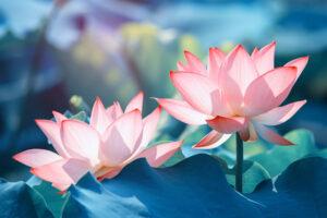 Chiêm bao thấy hoa sen có ý nghĩa gì