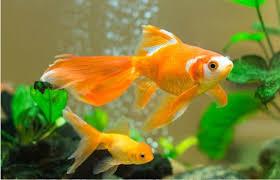 Ngủ mộng thấy cá vàng là điềm gì? Nên đánh con gì?