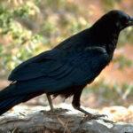 Chiêm bao thấy quạ là điềm gì? – Nên đánh con gì?