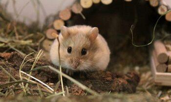 Mộng thấy chuột ẩn chứa điềm báo gì, lành hay dữ?