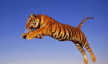 Nằm mộng thấy hổ (cọp) điềm báo gì, lành hay dữ?