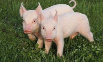 Mơ thấy lợn trắng đánh con gì, có điềm báo lành hay dữ?