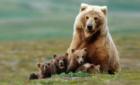 Chiêm bao thấy gấu đánh số mấy? điềm hung hay cát?