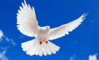 Chim bồ câu trong giấc mơ dự báo điềm lành hay điềm dữ?
