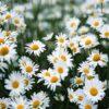 Nằm mơ thấy hoa cúc đánh số gì? Ý nghĩa giấc mơ?